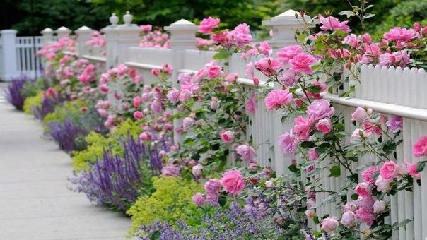 КОМПАНЬОНЫ ДЛЯ РОЗ Раньше считалось, что розы настолько самодостаточны, что их следует сажать отдельно от других цветов. Но вкусы и строгие правила меняются. Сегодня все популярнее смешанные