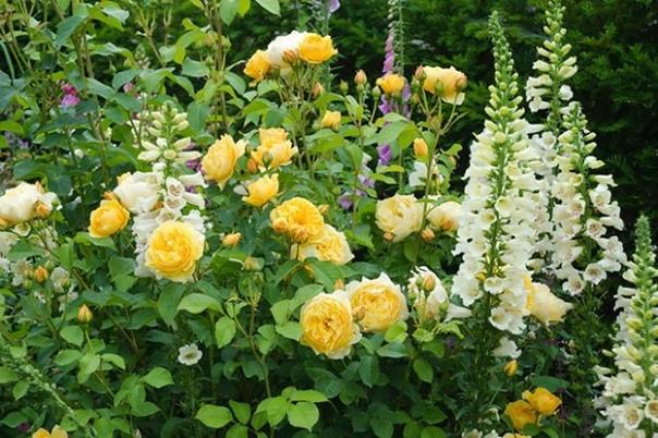 Что посадить рядом с розами Раньше было принято считать, что розы настолько самодостаточны, что не нуждаются в соседях. Но сегодня все большую популярность обретают смешанные посадки, в которых
