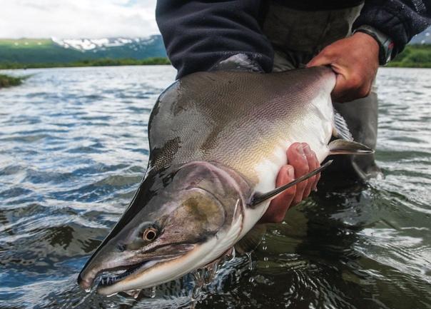 Разница между семгой и горбушей И семга, и горбуша желанное блюдо к любому столу. Они обе носят гордое наименование «красная рыба», однако различия между ними все же есть, и весьма существенные.