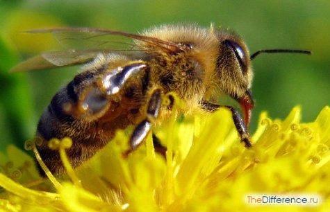 Разница между пчелой и шмелем Пчелу и шмеля объединяет их принадлежность к перепончатокрылым. Но, имея биологическое сходство, насекомые также во многом не похожи друг на друга. Итак, чем