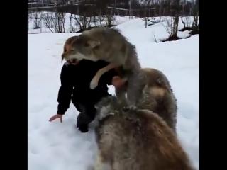 Девушка вырастила волков когда они были маленькие. Они не виделись 4 года и вот их встреча..