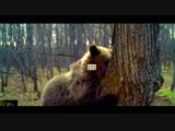 Медведь лакомится мёдом диких пчел