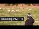 Правда ли, что овцы слушают только голос своего пастыря?