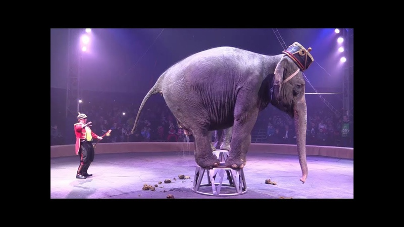 Слон срет в цирке An elephant defecates in a circus