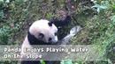 Panda Enjoys Playing Water On The Slope | iPanda