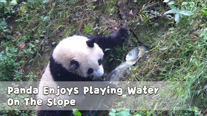 Panda Enjoys Playing Water On The Slope iPanda