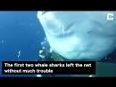 Этих китовых акул ждала мучительная смерть в сетях К счастью их спасли дайверы ❤️