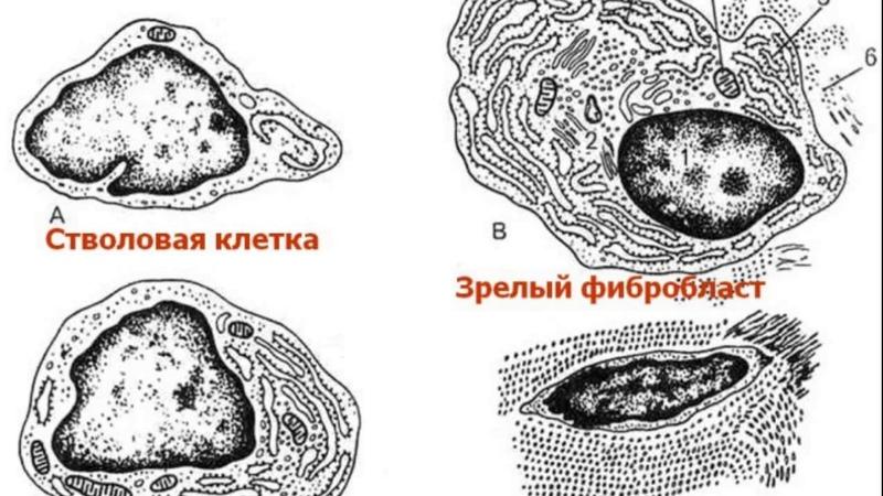 Собственно соединительные ткани Видео лекция С М Зиматкина 6