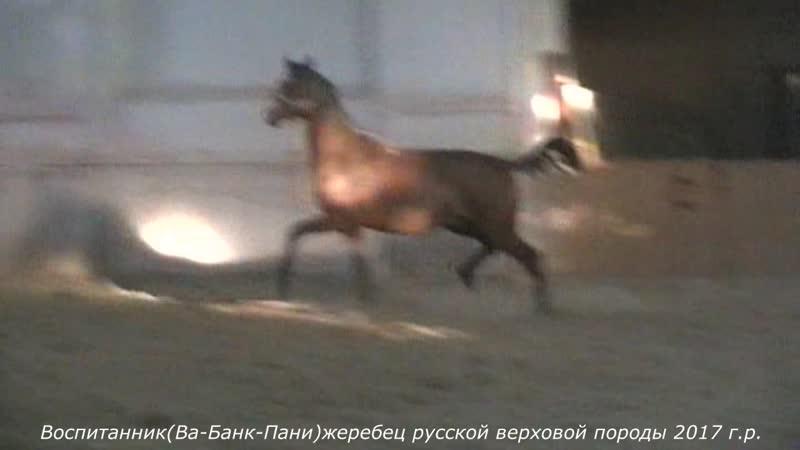 Воспитанник(Ва-Банк-Пани)жеребец русский верховой породы 2017 г.р.