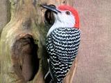 Brad Wiley, Bird carving, Bradwiley.com