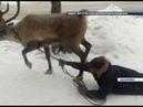 В Назарове северный олень во время прогулки протащил дрессировщика волоком по дороге