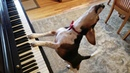 NEW SONG! Buddy Mercury in Red - The Singing Beagle Plays Piano