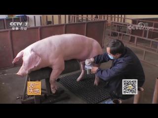 Борьба и воспитание кабана ''ДоуЧжи ДоуЮн ЯнГун Чжу''. Технология селекции в свиноводстве.
