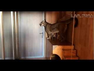 Пума Месси ждёт папу. Puma Messi is waiting for dad to come home