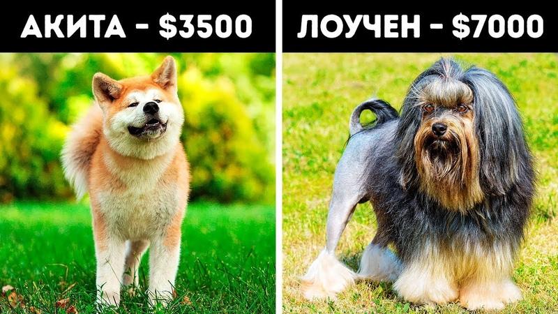 20 Удивительных Пород Собак Которые Стоят Целое Состояние