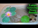 How To Grow Lotus From Seeds at Home   Lotus growing in Water   Lotus Growing Time Lapse