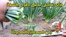 زراعة البصل والثوم فى المطبخ والبلكونة ج3 جمع المحصول