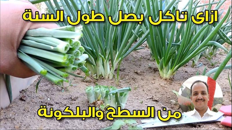 زراعة البصل والثوم فى المطبخ والبلكونة | ج3 | جمع المحصول