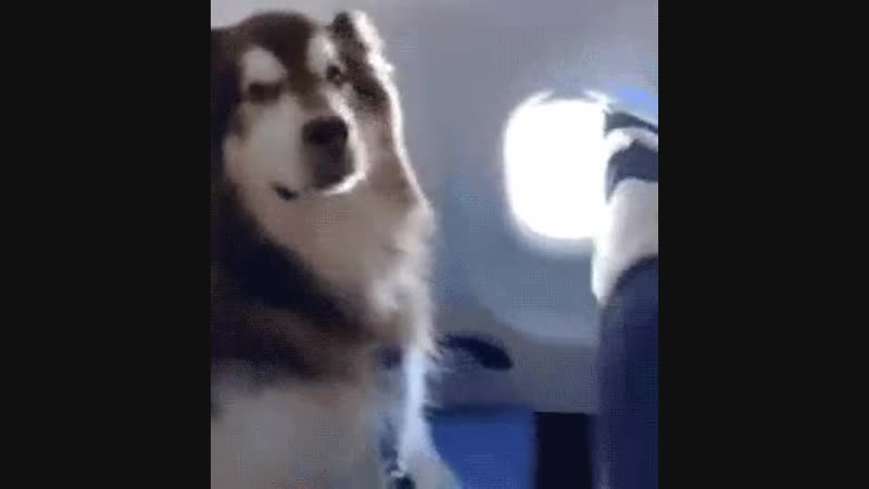 Alaskan Malamute sits very still on a plane seat after being allowed to take the flight to accompany its disabled owner