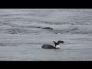 Орёл кормиться на туше молодого кита, одновременно убивая крупную рыбу