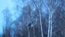Охота бородатой неясыти в сумерках / Dusk hunting of the great grey owl