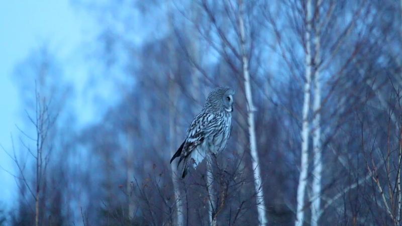 Охота бородатой неясыти в сумерках Dusk hunting of the great grey owl