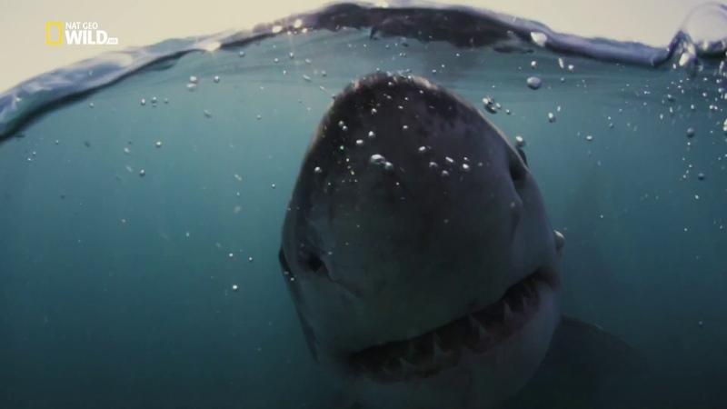 Nat Geo Wild: Царство больших акул (1080р)