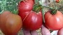 Обзор томатов в теплице 3 августа 2018 года. Часть 1.
