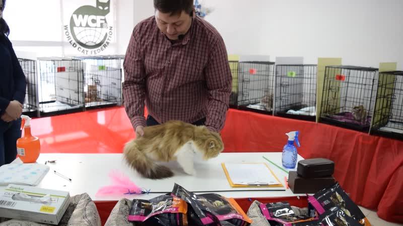 Выставка кошекРепетиция Нового года! 16.12.18 WCF - ринг юниоров