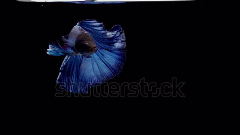 пурпурно синяя
