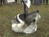 Восточный волкодав в Святогорске