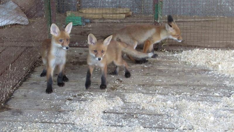 Лисы уехали да здравствуют лисы