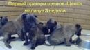 Первый прикорм щенков Щенки малинуа 3 недели