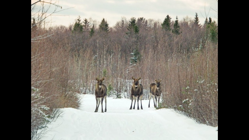 Приколы, неудачи и необычные случаи на охоте. Встреча с дикими животными часть 3