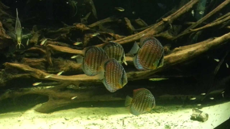 Discus Fish and Freshwater Angelfish in an Extra large fish tank a large school of Firehead Tetras