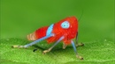 Colorful Leafhopper Nymph from Ecuador