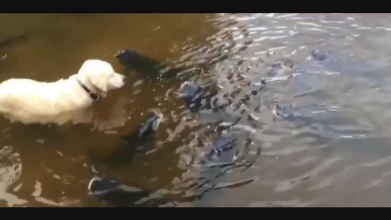 Собака ловит сома. Видео прикол