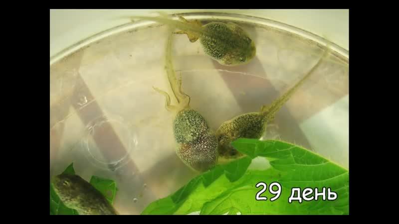 Как дома вырастить из икры головастика, а потом лягушку_1