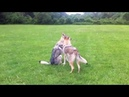 Czechoslovakian Wolfdogs - Communication