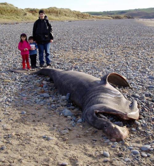 морские чудовища время от времени на морских побережьях находят гигантские полуразложившиеся туши самых настоящих чудовищ. ученые теряются в догадках, пытаясь идентифицировать и классифицировать
