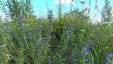 Поле, цветы, релакс, звуки природы, цикады, пение птиц, отдых, для души, для сна, для детей.