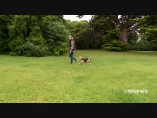 Beagle adopts baby possum