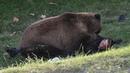 فيلم وثائقي وليمة الدببة - HD - الحيوانات