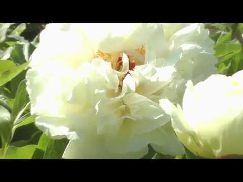 Белые пионы поэтапно маслом. Пленэр в Ботаническом саду.Peonies.Picture