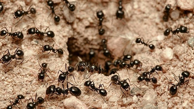 Как уничтожить тараканов и домашних муравьев Раптор – средство №1