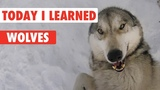 Today I Learned Wolves