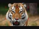 исповедь тигра