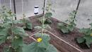 Важные правила выращивания огурцов! Всегда хороший урожай!