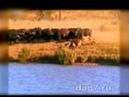 буйволы и львы