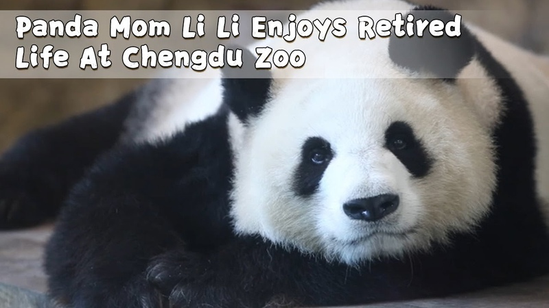 Panda Mom Li Li Enjoys Retired Life At Chengdu Zoo | iPanda